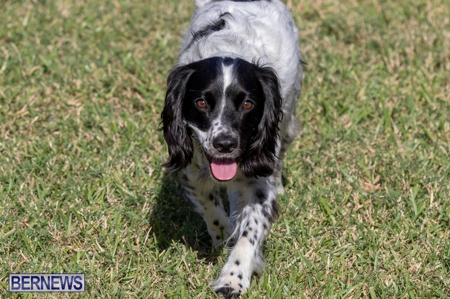Devils-Isle-All-Breed-Club-2019-Bermuda-International-Dog-Shows-Bermuda-November-2-2019-0685