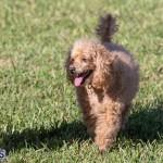 Devil's Isle All Breed Club 2019 Bermuda International Dog Shows Bermuda, November 2 2019-0692