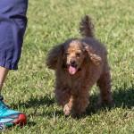 Devil's Isle All Breed Club 2019 Bermuda International Dog Shows Bermuda, November 2 2019-0698