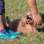 Devil's Isle All Breed Club 2019 Bermuda International Dog Shows Bermuda, November 2 2019-0700