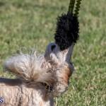 Devil's Isle All Breed Club 2019 Bermuda International Dog Shows Bermuda, November 2 2019-0713