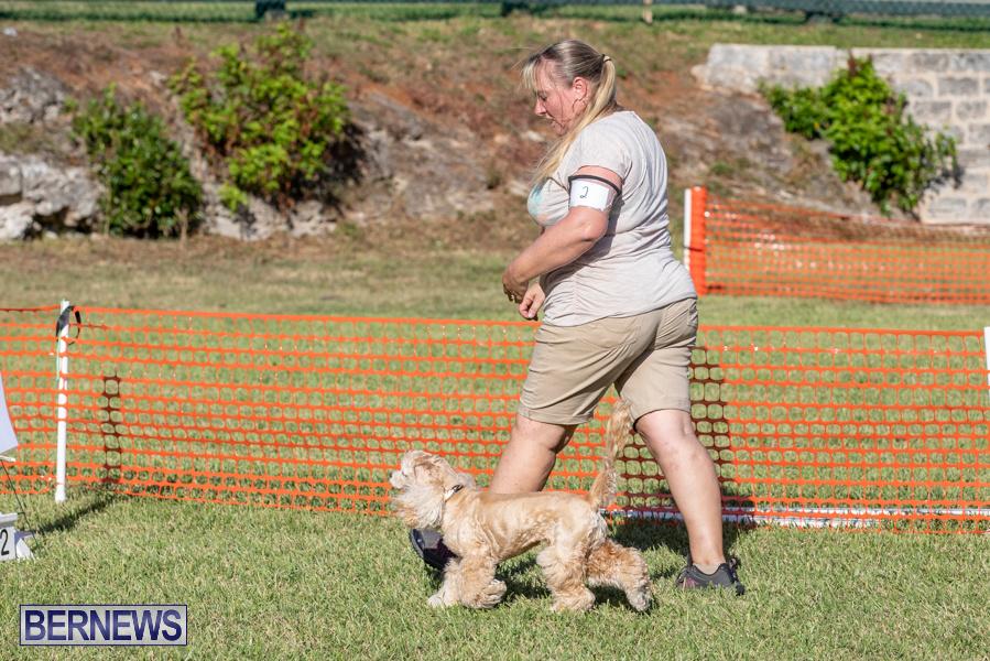 Devils-Isle-All-Breed-Club-2019-Bermuda-International-Dog-Shows-Bermuda-November-2-2019-0726