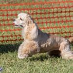 Devil's Isle All Breed Club 2019 Bermuda International Dog Shows Bermuda, November 2 2019-0732