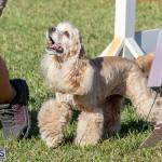 Devil's Isle All Breed Club 2019 Bermuda International Dog Shows Bermuda, November 2 2019-0748