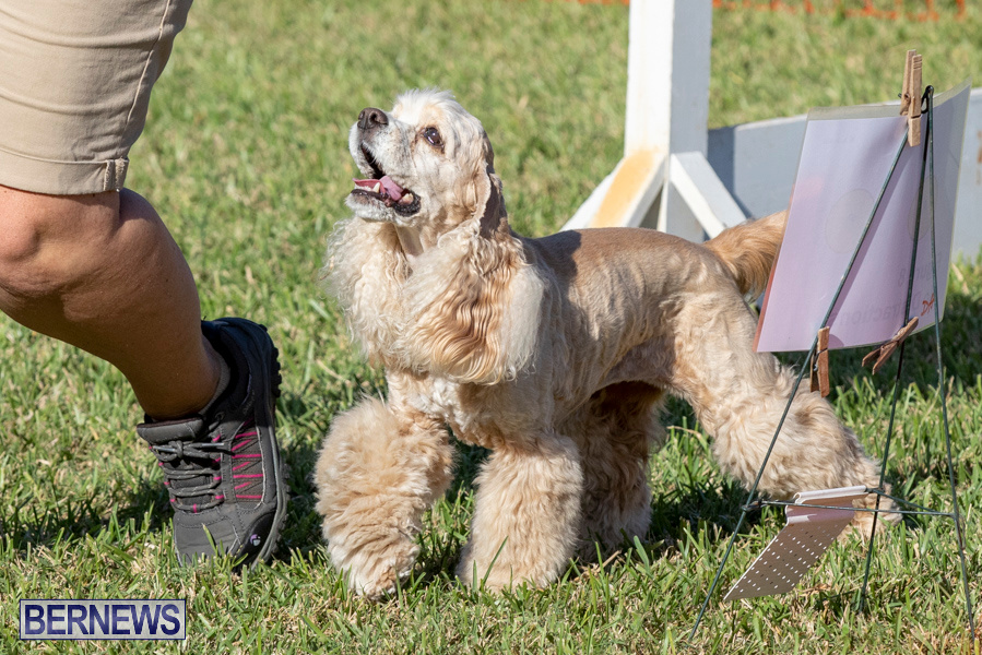 Devils-Isle-All-Breed-Club-2019-Bermuda-International-Dog-Shows-Bermuda-November-2-2019-0748