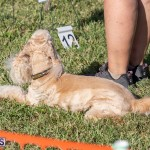 Devil's Isle All Breed Club 2019 Bermuda International Dog Shows Bermuda, November 2 2019-0764