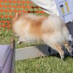 Devil's Isle All Breed Club 2019 Bermuda International Dog Shows Bermuda, November 2 2019-0779