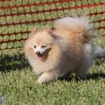 Devil's Isle All Breed Club 2019 Bermuda International Dog Shows Bermuda, November 2 2019-0783
