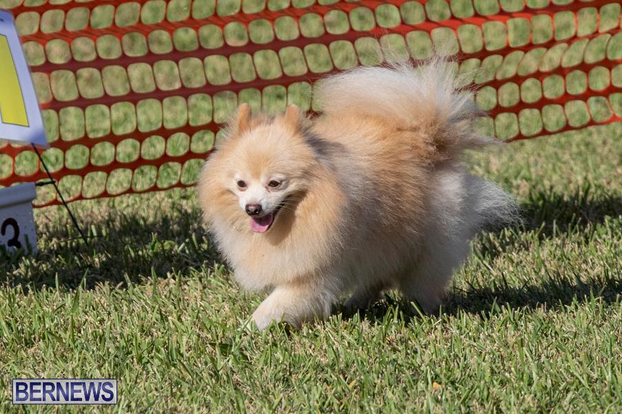 Devils-Isle-All-Breed-Club-2019-Bermuda-International-Dog-Shows-Bermuda-November-2-2019-0783