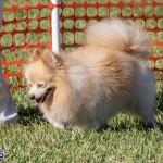 Devil's Isle All Breed Club 2019 Bermuda International Dog Shows Bermuda, November 2 2019-0794