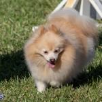 Devil's Isle All Breed Club 2019 Bermuda International Dog Shows Bermuda, November 2 2019-0807