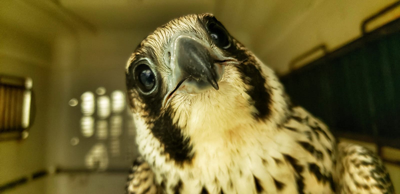 Falcon Rehabilitation Bermuda Dec 17 2019 (2)