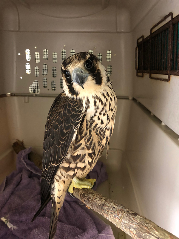 Falcon Rehabilitation Bermuda Dec 17 2019 (3)