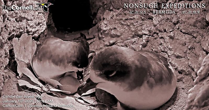 Egg Laying  Bermuda Jan 10 2020