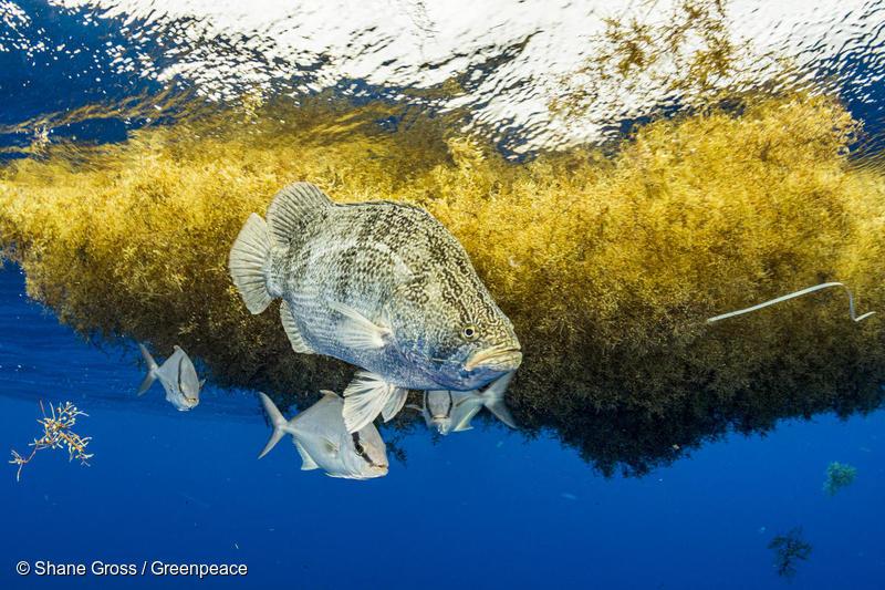 Fish among Sargassum Seaweed in the Sargasso Sea
