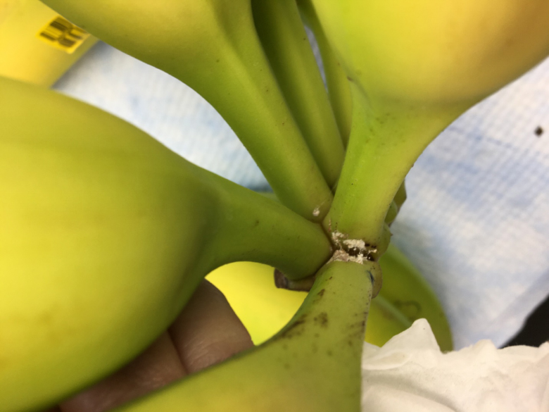 banana Bermuda Jan 31 2020 (1)