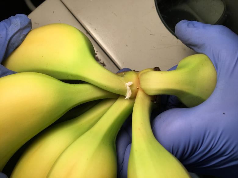banana Bermuda Jan 31 2020 (7)
