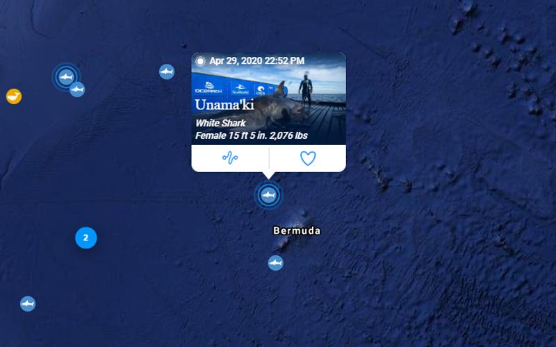 Unama'ki white shark April 2020 (1)