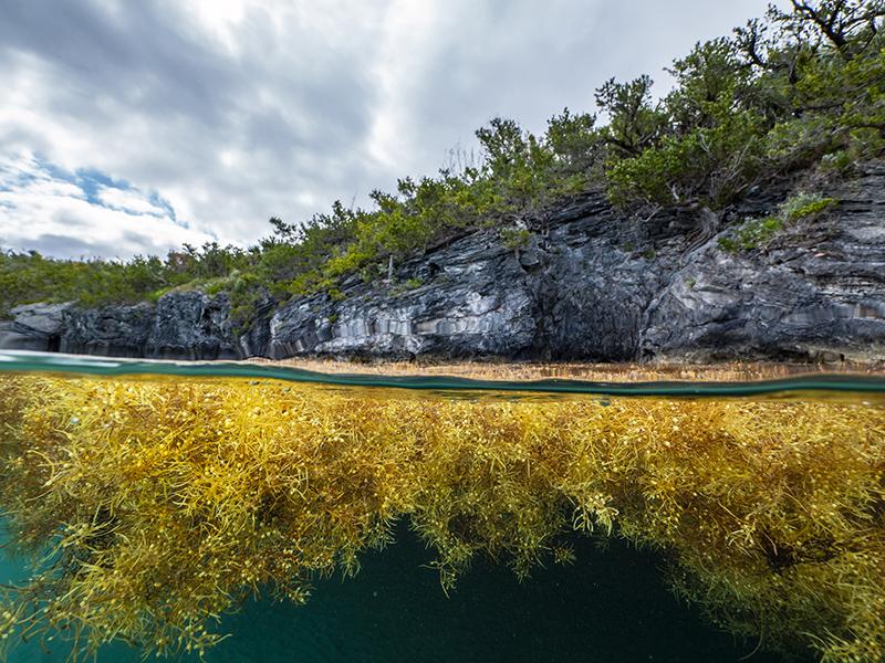 Sargassum Bermuda Ocean Prosperity Programme June 2020