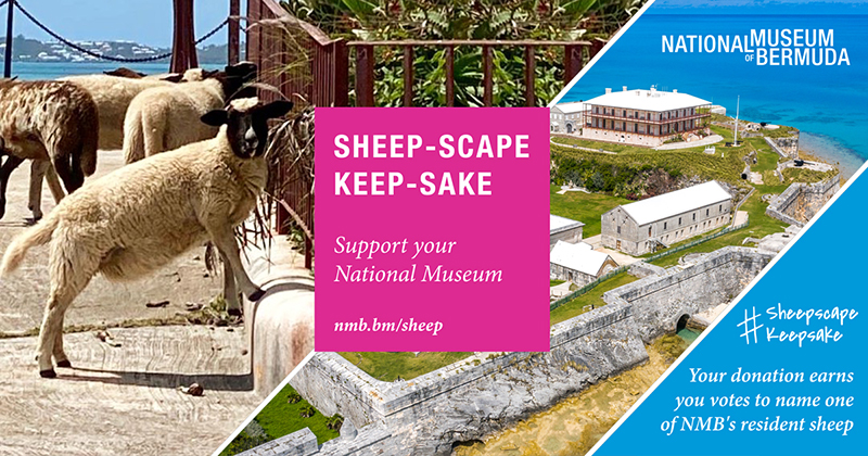 Sheep Bermuda June 10 2020 (2)