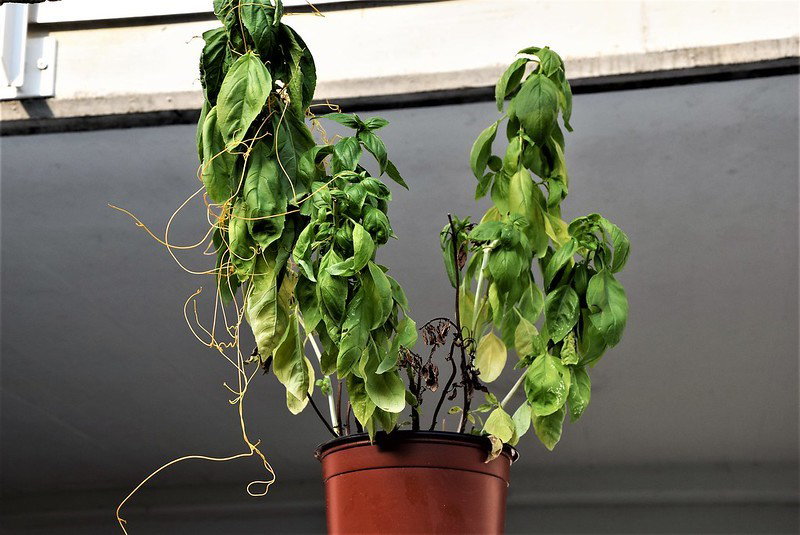 DENR To Track Down Dodder-Infested Basil Plants Aug 2020 1