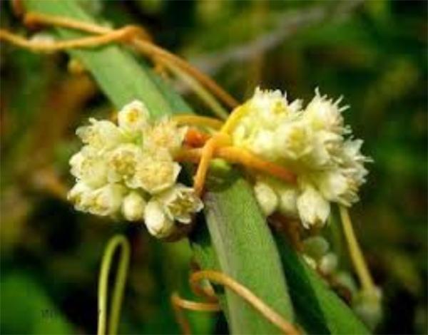 DENR To Track Down Dodder-Infested Basil Plants Aug 2020 3