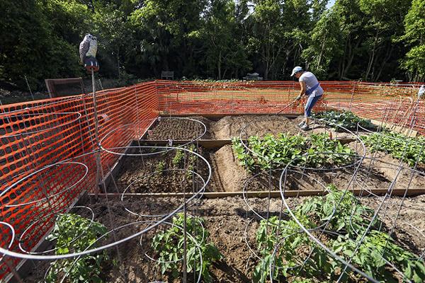 Community Gardens Bermuda Nov 2020 (2)