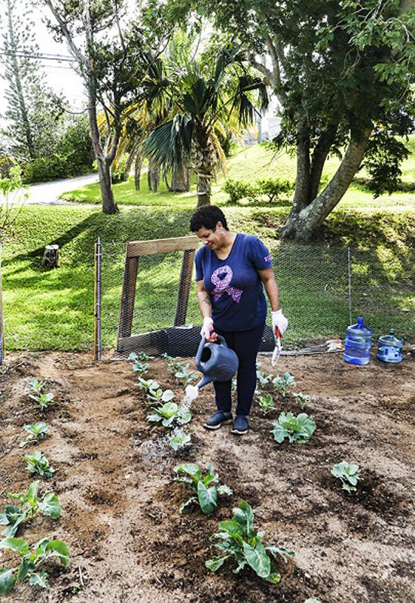 Community Gardens Bermuda Nov 2020 (6)