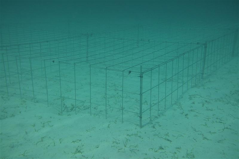 Seagrass Restoration Project Bermuda Jan 2021 1