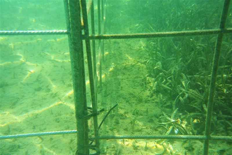 Seagrass Restoration Project Bermuda Jan 2021 2