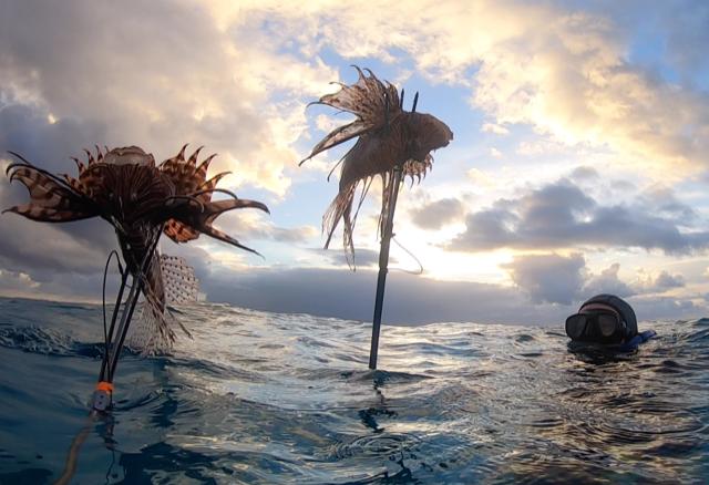 Winter Lionfish Derby Bermuda Feb 2021 (1)