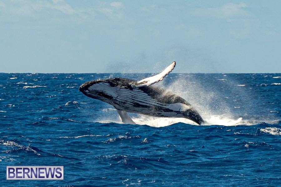 464 - It's that spectacular time of year when the hump-back whales pass the Island close by