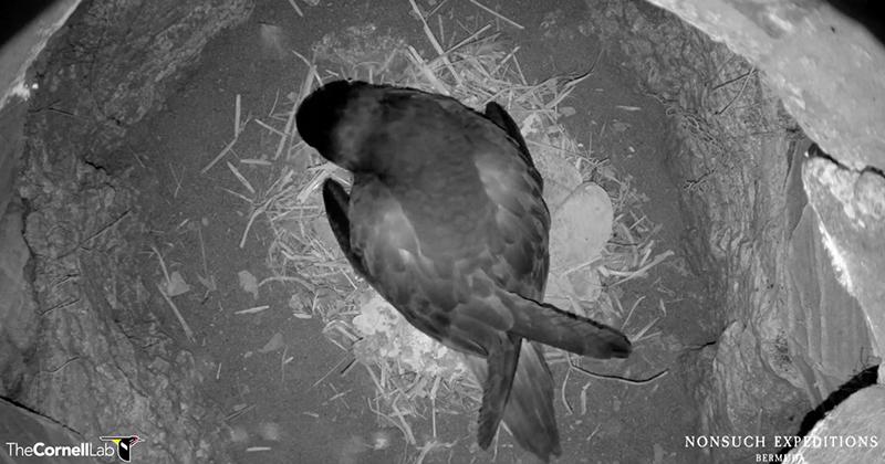 Hatching Alert For Online CahowCam 2 Bermuda March 2021 2