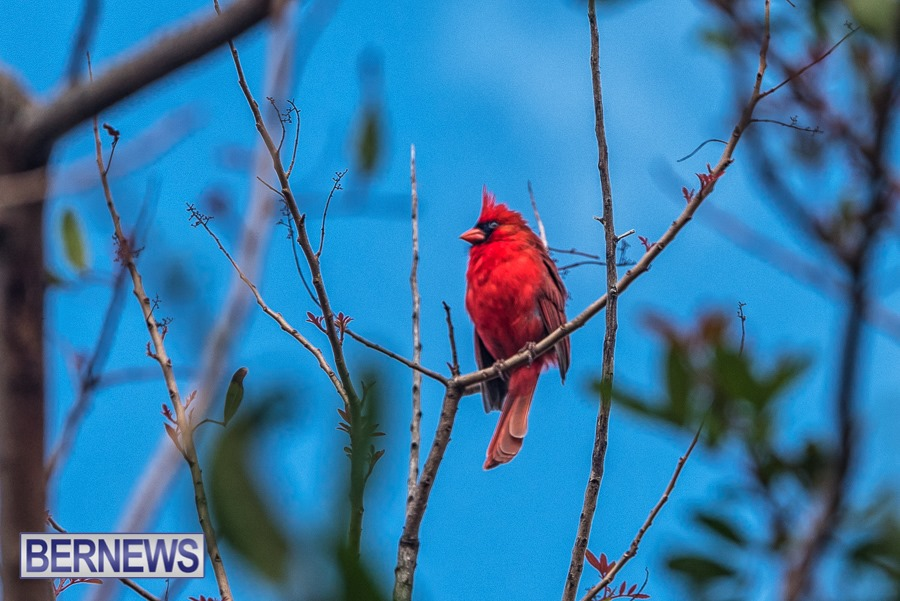 281 - A cardinal sits high up on a branch surveying the area around