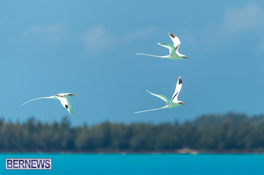 290 - A trio of Longtails cruise the skies in search of food