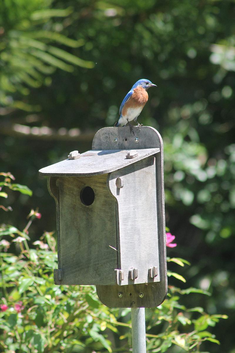 Blue Bird Bermuda April 2021 1