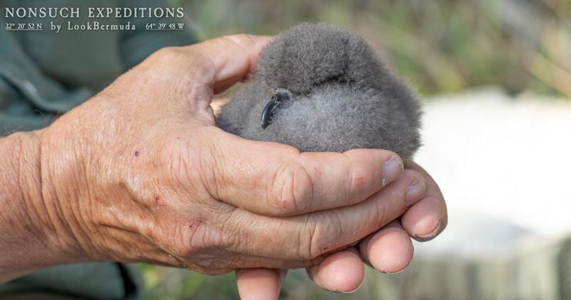 Cahow chick Bermuda April 2021