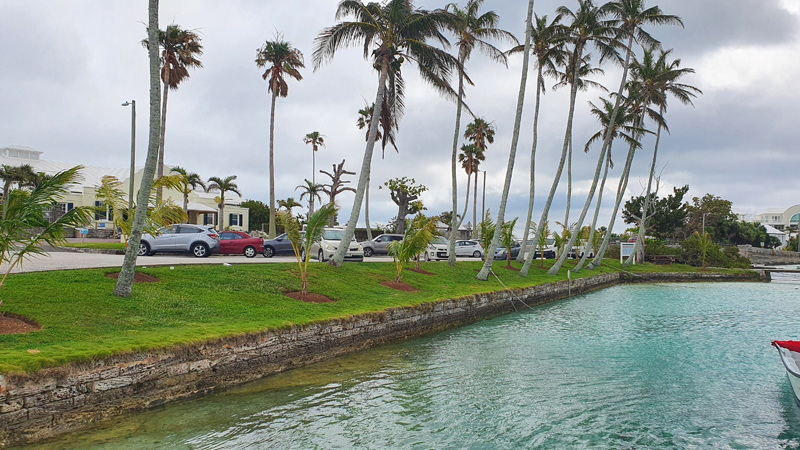Young Coconut Palms Bermuda May 2021 (1)