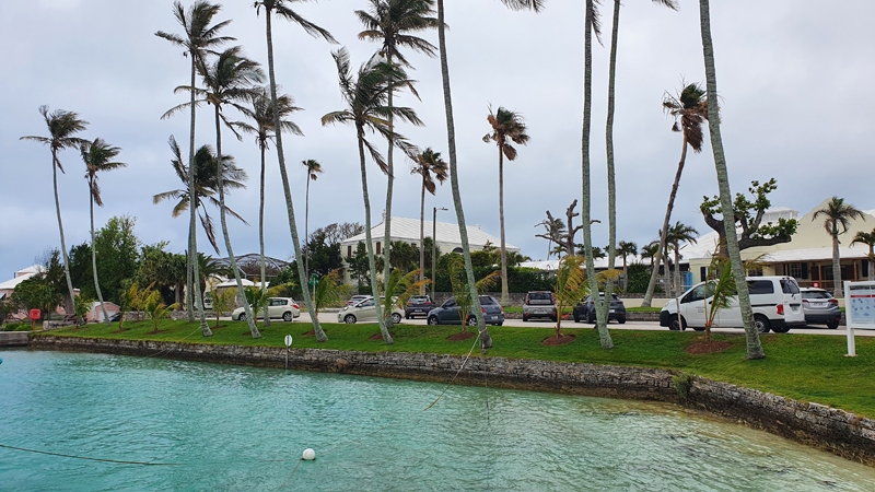 Young Coconut Palms Bermuda May 2021 (3)