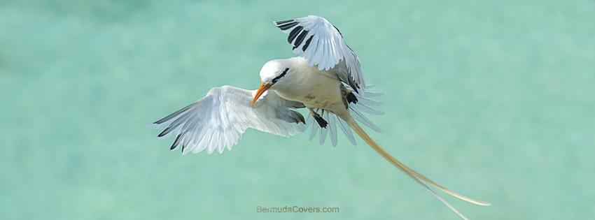 Bermuda-longtail-long-tail-Bernews-Facebook-Timeline-Cover-Graphic-QBECvsCk