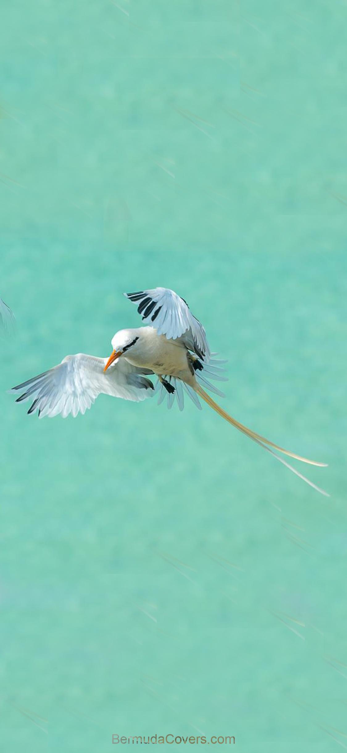 Bermuda-longtail-long-tail-Bernews-Mobile-phone-wallpaper-lock-screen-design-image-photo-QBECvsCk