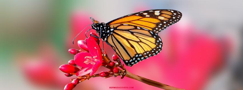 Bermuda Butterfly On Flower Bernews Facebook Timeline Cover Graphic YyDNzgkM