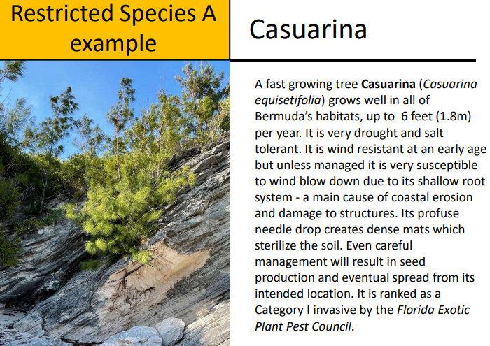 Invasive Alien Species Casuarina Bermuda Aug 2021