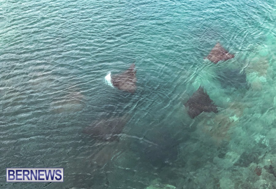 441 - A group of spotted eagle rays swim under the bridge at Flatts