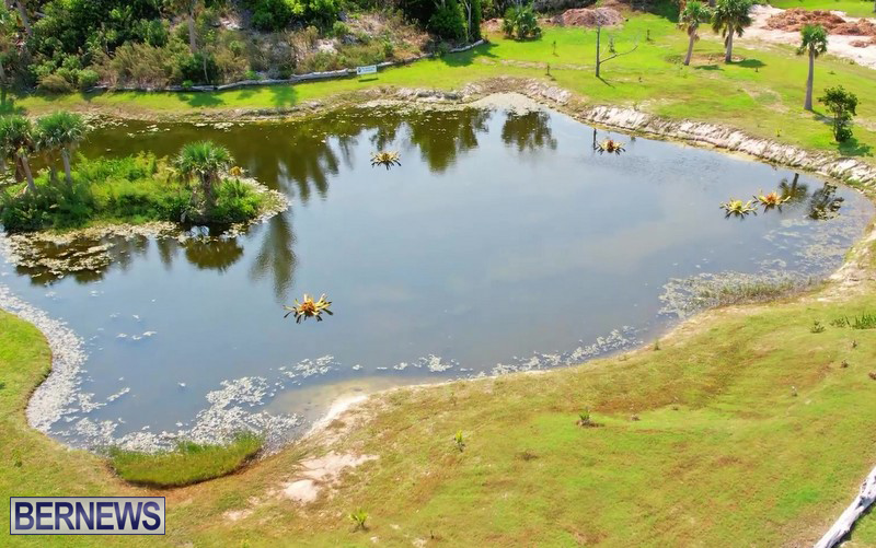 FLOWERS IN POND_Eves Pond Hamilton Parish Bermuda 2021 (4)