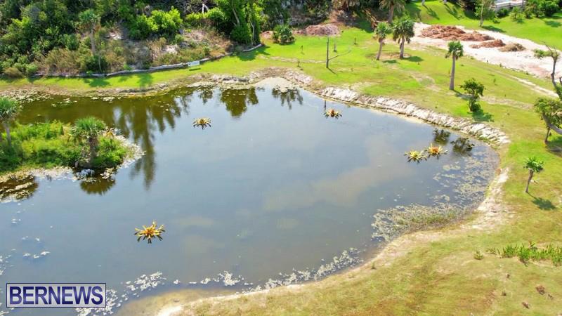 FLOWERS IN POND_Eves Pond Hamilton Parish Bermuda 2021 (5)