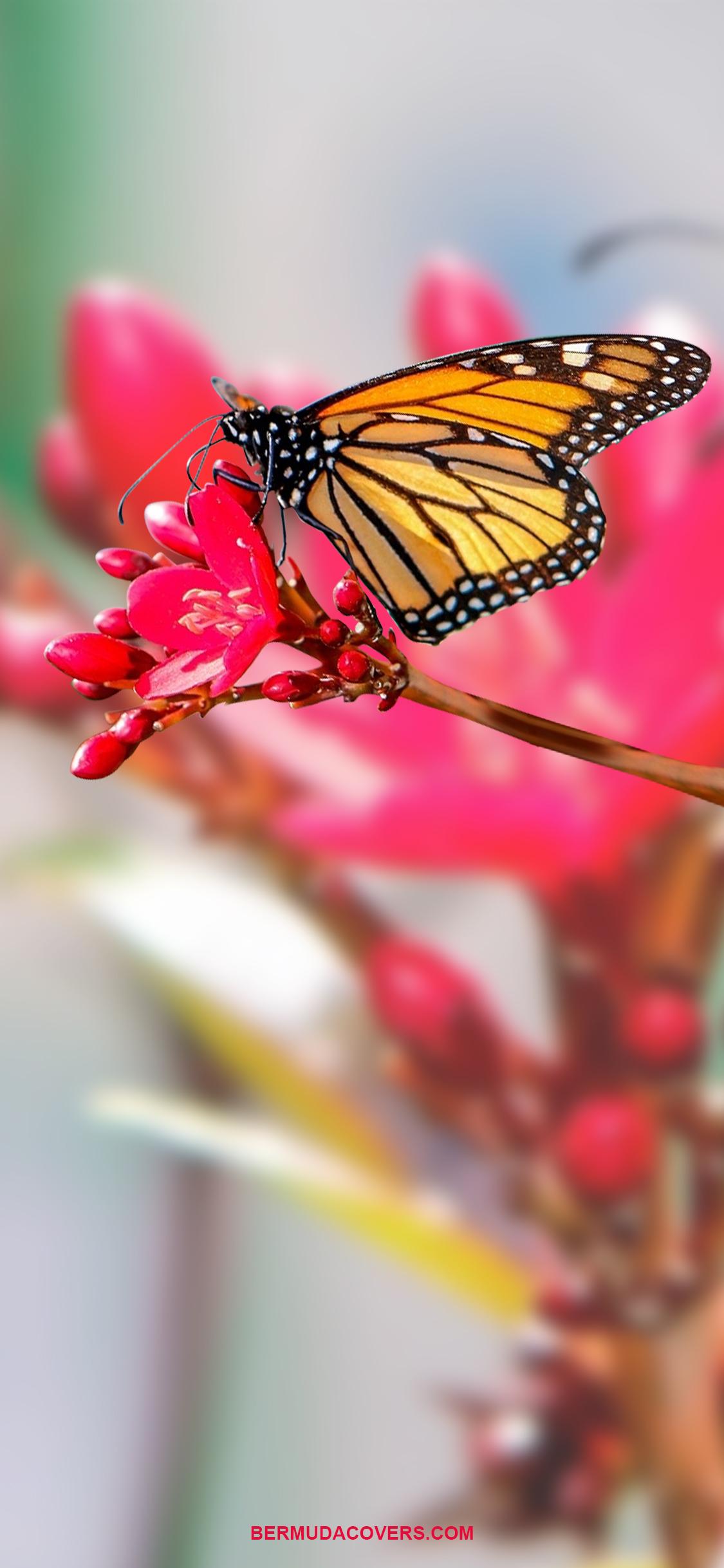 Bermuda Butterfly On Flower by Bernews Mobile phone wallpaper lock screen design image photo YyDNzgkM